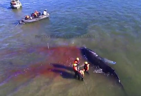 whale stranded near long island